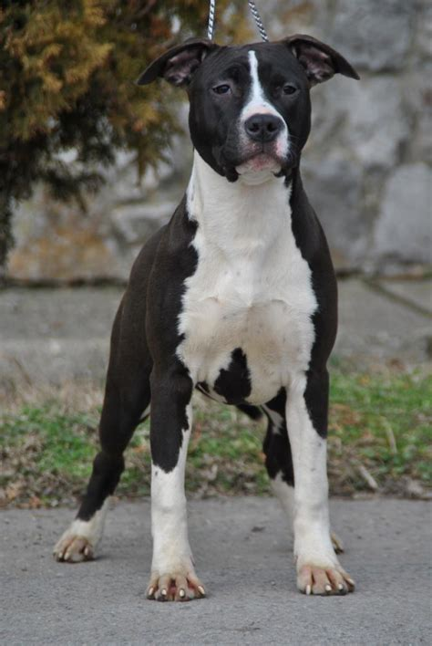 American Staffordshire Terrier Puppies for Sale(Damir
