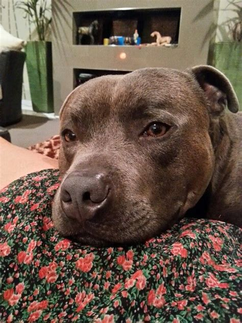 12 Realities That New Staffordshire Bull Terrier Owners